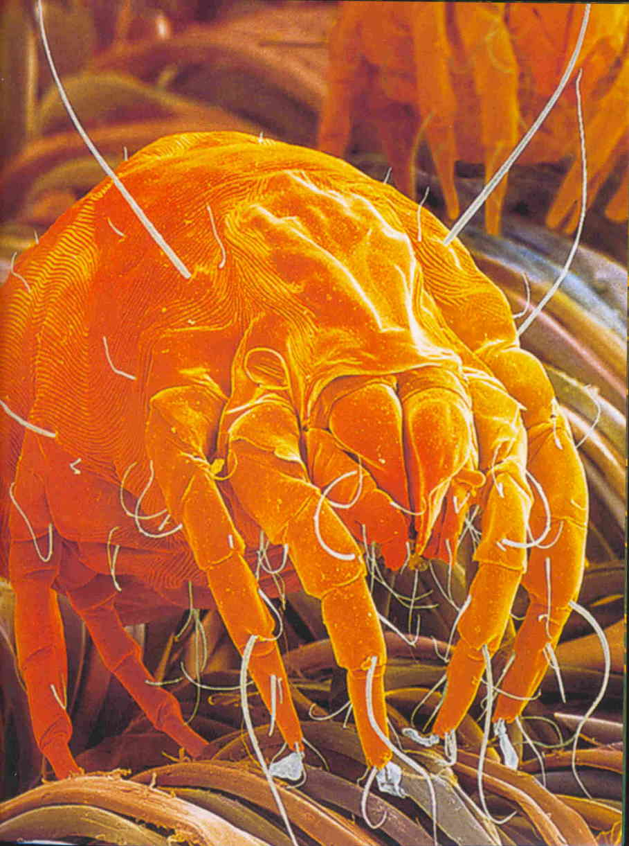 Image of a dust mite in a carpet
